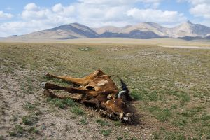 central asia kirghizistan stefano majno song kul dead cow.jpg