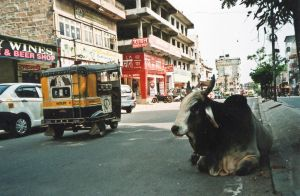 stefano majno india rajasthan asia analogue film camera jodhpur cow.jpg