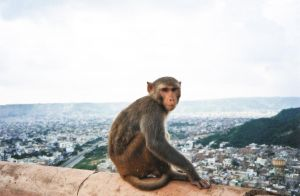 stefano majno india rajasthan asia analogue film camera monkey jaipur.jpg