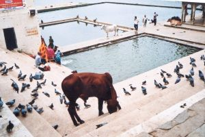 stefano majno india rajasthan asia analogue film camera pushkar ghat cow geometry.jpg