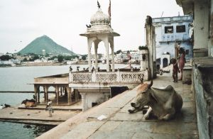 stefano majno india rajasthan asia analogue film camera pushkar ghat cow perspective.jpg