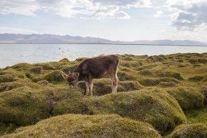 stefano majno cow tien shan song kol lake