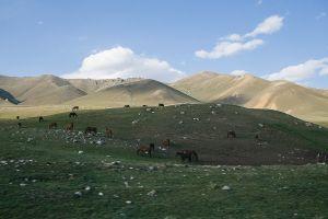 stefano majno tien shan cattles